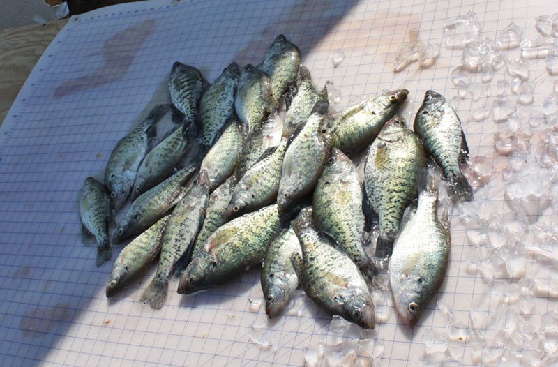 A nice mess of crappie ready to be filleted